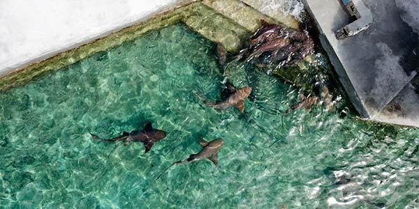 swim-with-sharks-staniel-cay