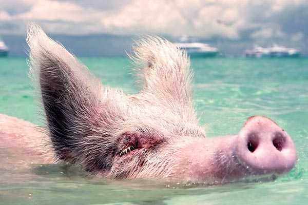 Swimming Swimming Pigs Flights to Staniel Cay Exuma Experiance